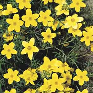 Bidens (Bidens ferulifolia)