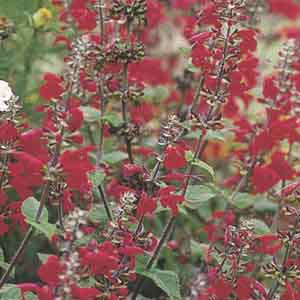 Scarlet Sage, Texas Sage, Tropical Sage