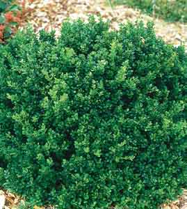 Dwarf Japanese Barberry