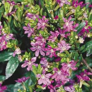 False Heather, Mexican Heather