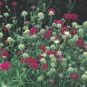 Crimson Scabious, Knautia