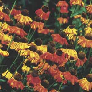 Common Sneezeweed