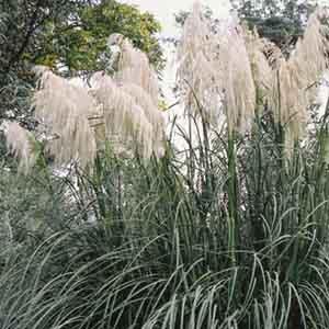 Hardy Pampas Grass