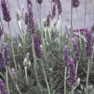 Fringed Lavender
