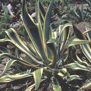 Variegated Agave, Century Plant, American Aloe