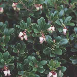 Kinnikinick, Common Bearberry
