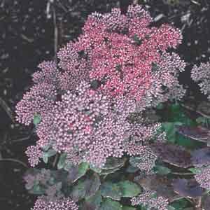 Autumn Stonecrop