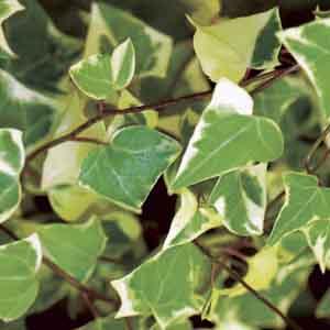 Variegated German Ivy, Cape Ivy