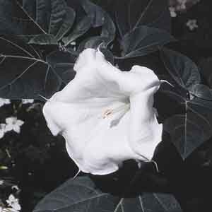 Angel's Trumpet Flower, Brugmansia