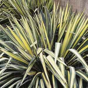 Yucca, Adam's Needle