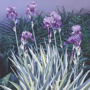 Sweet Iris, Dalmatian Iris