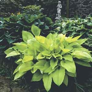 Hosta, Plantain Lily Assorted (Hosta hybrid)