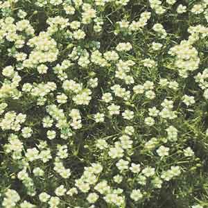Moss Sandwort