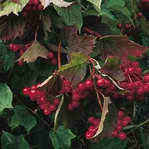 Common Snowball Bush, European Cranberry Viburnum