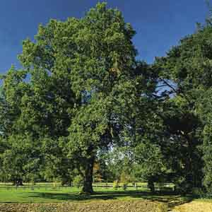Pyramidal English Oak, French Oak