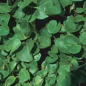 Dichondra, Lawn Leaf