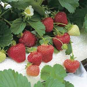 Everbearing Strawberry