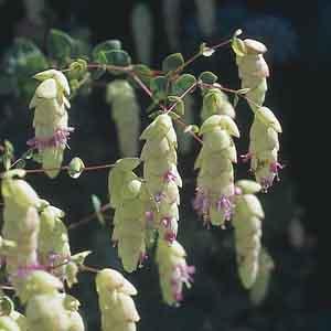Hopflower Oregano