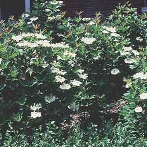 Compact American Cranberry Bush