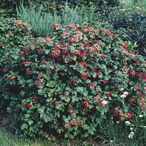European Cranberry