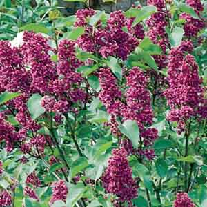 French Lilac, Common Lilac