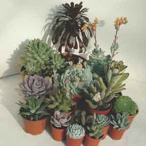 Succulents - Annual