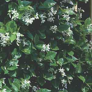 Star Jasmine, Confederate Jasmine (Trachelospermum jasminoides)