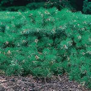 Spreading, Creeping Scotch Pine