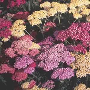 Achillea Hybrids
