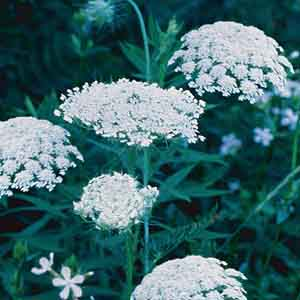 Lace Flower, False Queen Anne's Lace
