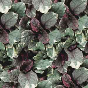 Ajuga, Carpet Bugleweed