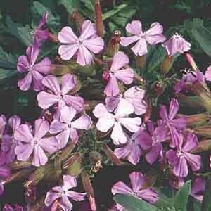 Rock Soapwort, Mediterranean Pinks