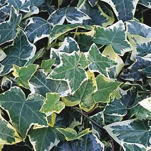 Variegated English Ivy