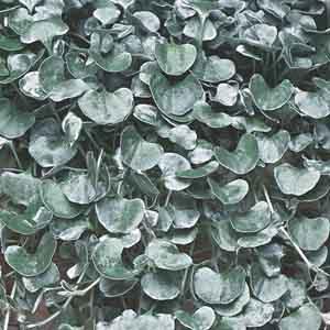 Dichondra, Silver Nickle Vine