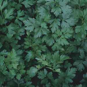 Flat Leaf Parsley, Italian Parsley