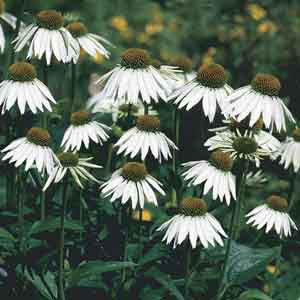 Common Coneflower