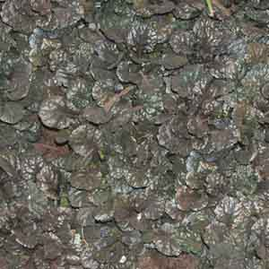 Ajuga, Carpet Bugleweed