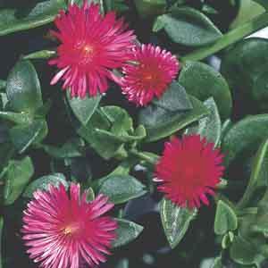 Heartleaf Ice plant, Baby Sun Rose