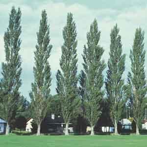 Gray Poplar