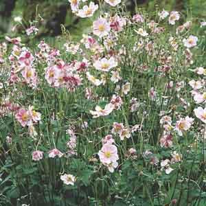 Windflower, Japanese Anemone
