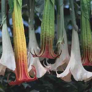 Datura, Angel's Trumpet Flower