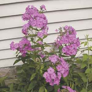 Meadow Phlox, Wild Sweet William