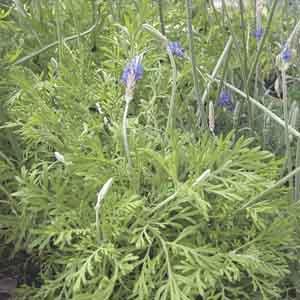Fernleaf Lavender, Egyptian Lavender
