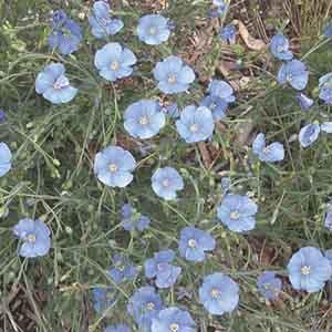 Blue Flax, Perennial Flax