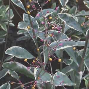 Talinum, Fame Flower, Jewels of Opar