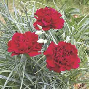 Carnation Indoors