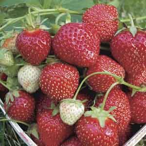 Junebearing Strawberry