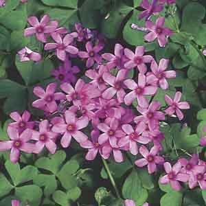 Oxalis, Pink Wood Sorrel