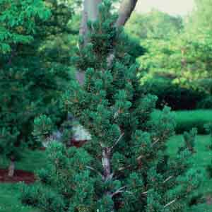 Swiss Stone Pine, Arolla Pine