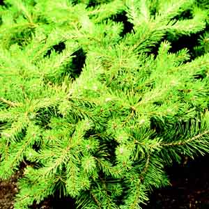 Spreading Scotch Pine